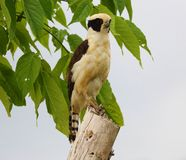 Beautiful laughing falcon in the Costa Rica jungle waiting for it`s pray stock photography