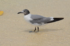 Beautiful Laughing Gull Wading in Shallow Waters. Laughing gull standing in shallow waters on the edge of the beach royalty free stock photo