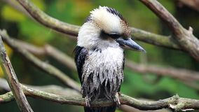 Free Beautiful Laughing Kookaburra Perched On Branch Stock Photo - 103681240