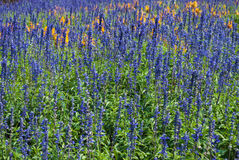 Beautiful Lavandula/ Lavandula Angustifolia Flower Garden Royalty Free Stock Photo