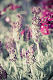 Beautiful lavandula stoechas flower. Stock Images