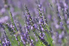 Beautiful Lavender Royalty Free Stock Image