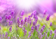 Beautiful lavender bathed in sunlight Royalty Free Stock Images