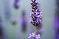 Beautiful Lavender blooming in early summer stock image