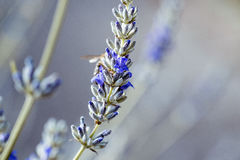 Beautiful Lavender blooming in early summer royalty free stock photography