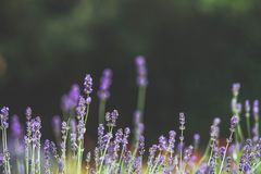 Beautiful lavender bush on a natural background, blurred background, space text Royalty Free Stock Photos