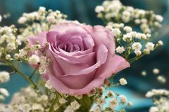 Beautiful lavender color rose with gypsophilla Royalty Free Stock Image