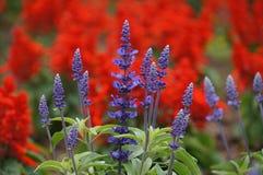 Beautiful lavender farm in Hokkaido. Japan Royalty Free Stock Image