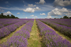 Beautiful Lavender Field. A view of a beautiful plantation of lavender in a field stock images