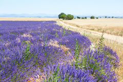 Beautiful lavender field Stock Image