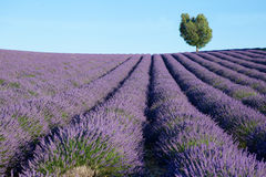 Beautiful lavender field Stock Photography