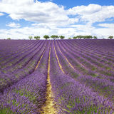 Beautiful lavender field Royalty Free Stock Images