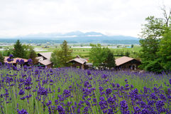 Beautiful lavender field at Furano. Sapporo Royalty Free Stock Photo