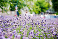 Beautiful lavender field with lavender city in background Stock Photography