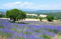 Beautiful lavender field in Provence Stock Photo