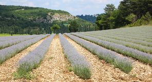 Beautiful Lavender field near the village of Sault Provence France. Beautiful Lavender field in Sault, Vaucluse, Provence France, Summer vacation. Europe Royalty Free Stock Image