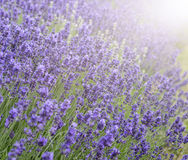 Beautiful lavender field with sun flare and shallow depth of fie Royalty Free Stock Photography
