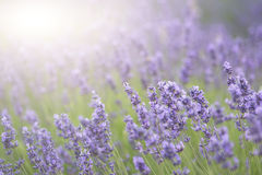 Beautiful lavender field with sun flare and shallow depth of fie Stock Photography
