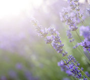 Beautiful lavender field with sun flare and shallow depth of fie Stock Images