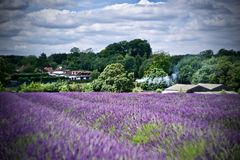 Lavender fields in England. Beautiful lavender fields in England. Summer concept royalty free stock images