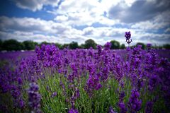 Lavender fields in England. Beautiful lavender fields in England. Summer concept royalty free stock photo