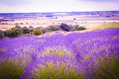 Beautiful Lavender fields in England, UK. Beautiful Lavender fields in England in the summer , UK Stock Images