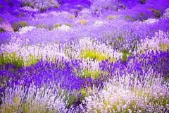 Beautiful Lavender fields in England, UK. Beautiful Lavender fields in England in the summer , UK Stock Photos