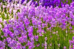 Beautiful Lavender fields in England, UK. Beautiful Lavender fields in England in the summer , UK Stock Image