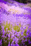 Beautiful Lavender fields in England, UK. Beautiful Lavender fields in England in the summer , UK Royalty Free Stock Image
