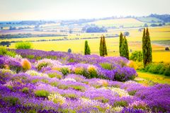 Beautiful Lavender fields in England, UK. Beautiful Lavender fields in England in the summer , UK Royalty Free Stock Images