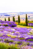 Beautiful Lavender fields in England, UK. Beautiful Lavender fields in England in the summer , UK Stock Photography