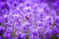 Beautiful Lavender fields in England, UK. Beautiful Lavender fields in England in the summer , UK Stock Photo