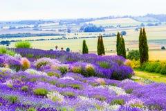 Beautiful Lavender fields in England, UK. Beautiful Lavender fields in England in the summer , UK Royalty Free Stock Photo