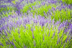 Beautiful Lavender fields in England, UK. Beautiful Lavender fields in England in the summer , UK Royalty Free Stock Photography