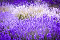 Beautiful Lavender fields in England, UK. Beautiful Lavender fields in England in the summer , UK Royalty Free Stock Photos