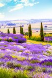 Beautiful Lavender fields in England, UK. Beautiful Lavender fields mixed with yellow flowers in England in the summer , UK Stock Photography
