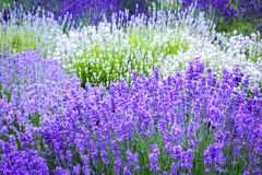 Beautiful Lavender fields in England, UK. Beautiful Lavender fields mixed with yellow flowers in England in the summer , UK Stock Photo