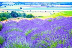 Beautiful Lavender fields in England, UK. Beautiful Lavender fields mixed with yellow flowers in England in the summer , UK Royalty Free Stock Images