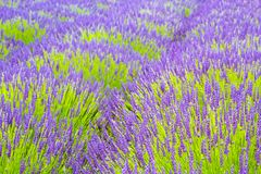 Beautiful Lavender fields in England, UK. Beautiful Lavender fields mixed with yellow flowers in England in the summer , UK Royalty Free Stock Photos