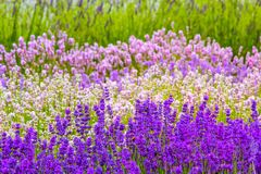 Beautiful Lavender fields in England, UK. Beautiful Lavender fields mixed with yellow flowers in England in the summer , UK Stock Images
