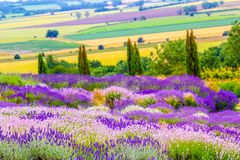 Beautiful Lavender fields in England, UK. Beautiful Lavender fields mixed with yellow flowers in England in the summer , UK Royalty Free Stock Image