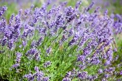 Beautiful lavender fields in Jersey Stock Image