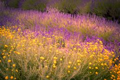 Beautiful Lavender fields in England, UK. Beautiful Lavender fields mixed with yellow flowers in England in the summer , UK Royalty Free Stock Photography