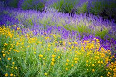 Beautiful Lavender fields in England, UK. Beautiful Lavender fields mixed with yellow flowers in England in the summer , UK Stock Image