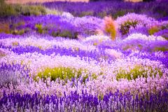 Beautiful Lavender fields in England, UK. Beautiful Lavender fields mixed with yellow flowers in England in the summer , UK Stock Photos