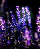 Beautiful lavender fields near Stara Zagora Bulgaria royalty free stock image