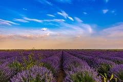 Beautiful lavender fields near Stara Zagora Bulgaria.  royalty free stock photo