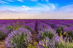 Beautiful lavender fields near Stara Zagora Bulgaria.  royalty free stock photography