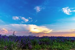 Beautiful lavender fields near Stara Zagora Bulgaria.  stock photo