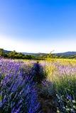 Beautiful lavender fields near Stara Zagora Bulgaria.  royalty free stock photos